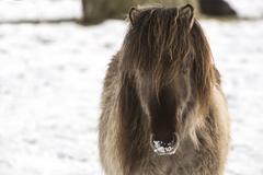 Icelandic horse in wintertime - stock photo
