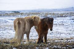 Stock Photo of Two Icelandic horses in wintertime