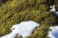 Closeup of fragile Icelandic moss Stock Photos