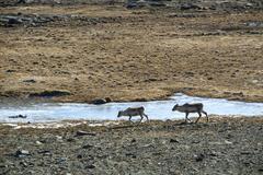 Herd of reindeer in Iceland Kuvituskuvat