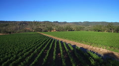 A low rising aerial over rows of vineyards in Northern California's Sonoma - stock footage