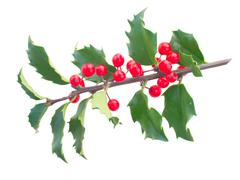 Holly branch - stock photo