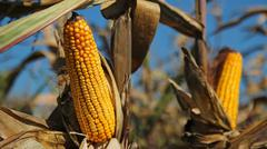 Maize Ready for Harvest - stock photo
