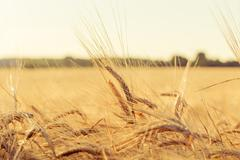 Ears of yellow wheat field Stock Photos