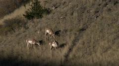 Pronghorn, American Antelope, Yellowstone Stock Footage
