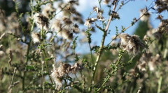 4K winter thistle in focus bathing in sunlight an autumn day - stock footage