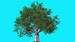European Beech Chromakey Tree Background Chroma Key Swaying Tree Wind - stock footage