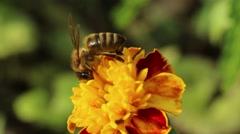 Honey bee pollinate flower Stock Footage
