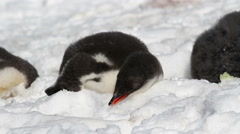 Gentoo Penguin in the snow Stock Footage