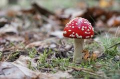 Red toadstool in a forest - stock photo