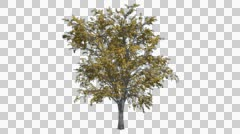 European Linden Chromakey Tree Chroma Key Alfa Alfa Channel Swaying Tree Wind - stock footage