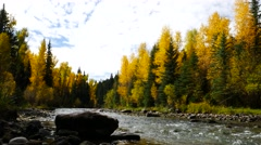 A river runs through a brilliant golden Aspen forest in the Colorado Rockies. - stock footage