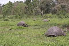 Galapagos Giant Tortoises in a Field - stock photo