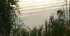White Swan Close Up Orange Beak Bird is Floating at The Lake Sky Reflection in Stock Footage