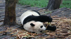 Young panda lying and eating bamboo roots Stock Footage