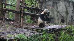 Panda standing up and eating apple Stock Footage