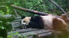 Young panda lying down on wooden terrace sleeping Stock Footage