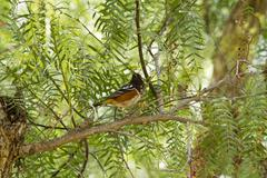 Brown and Black Towhee - stock photo