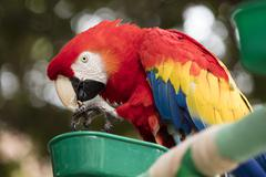 Scarlet Macaw perched at a local plaza - stock photo