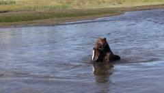 Grizzly bear chewing on a fish Stock Footage