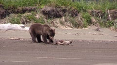 Grizzly bear finds a yummy morsel Stock Footage
