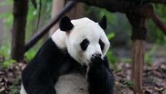 Panda licking paw Stock Footage