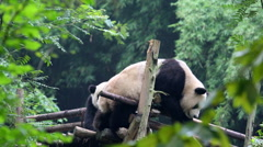 Panda playing on wooden terrace Stock Footage