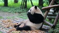 Panda eating fresh bamboo roots Stock Footage