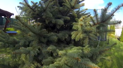 Close up of spruce pine needle branch inside Stock Footage