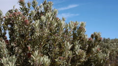 Proteas in the Cederberg region of the Western Cape, South Africa. Dolly shot. Stock Footage