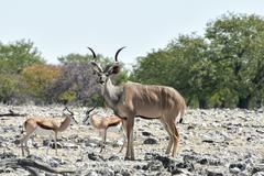 Kudu in Etosha National Park - stock photo