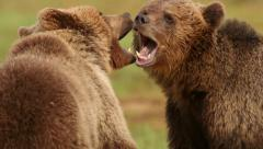 Fighting Brown Bears extreme close up slow motion Stock Footage