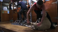 Wool shearing sheep in New Zealand Stock Footage