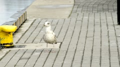 Young herring gull on a pier Stock Footage