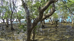 Panorama of massive mangrove trees on Philippines, rush and tide, timelapse. - stock footage