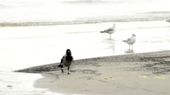 Black-headed gulls and hooded crows on a beach Stock Footage