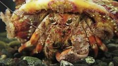 Anemone hermit crab (Dardanus pedunculatus), Negros, Philippines Stock Footage