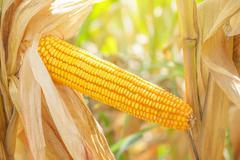 Corn ear on stalk Stock Photos