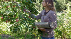 Woman harvesting Apples Stock Footage