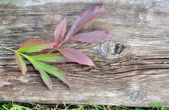 Peony Leaves and Old Board Stock Photos