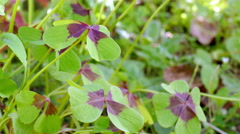 Clover with four leaves Stock Footage