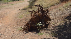 Dry Broken Tree In The Dirt Stock Footage