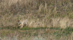 A Coyote Hunts and Eats, Yellowstone National Park Stock Footage