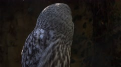 4k Great Grey Owl very close up dark forest habitat Stock Footage