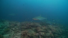 Galapagos sharks at cleaning station Cocos Island Stock Footage
