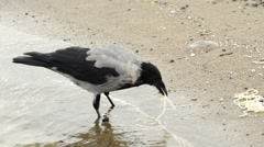 Hooded crow on a beach of the Baltic Sea Arkistovideo