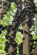 Abundant jaboticaba ripe fruit on tree trunk Stock Photos