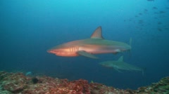 two galapagos sharks - stock footage