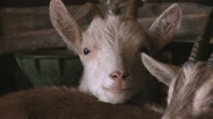 Baby goat in the stable looking at camera Stock Footage