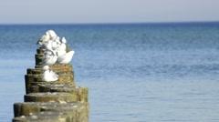 Black-headed gulls on groynes in the Baltic Sea Stock Footage